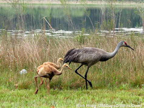 Birds Of The World 365 Days day 073 morning with the sandhill crane family 365 days of birds