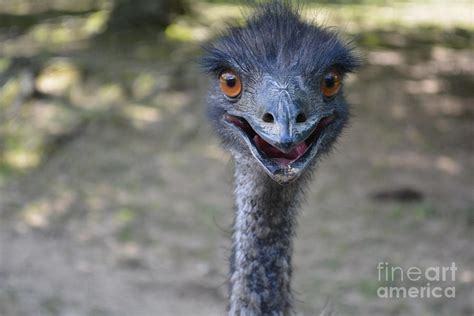 funny emu     photograph  barbara dalton
