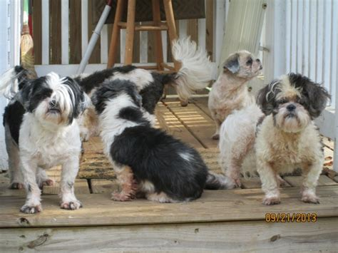 crossroads shih tzu rescue polo s refuge photo album crossroads shih tzu rescue