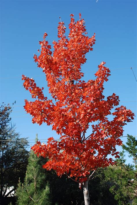maple tree value our top 5 reasons to plant trees in fall preservation tree services dallas fort