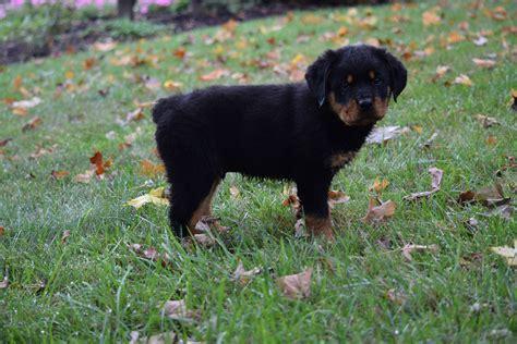 breeders in ohio picture 11 of 16 rottweiler puppies in ohio luxury akc registered rottweiler puppy