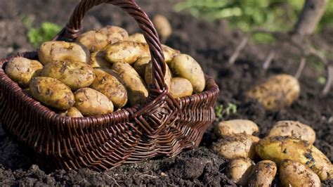 Journal Of Plant Disease - after 168 years potato famine mystery solved history in the headlines