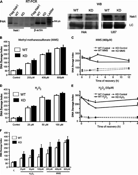 DNA damage and repair of Nek1 knockdown (KD) Hek293t cells