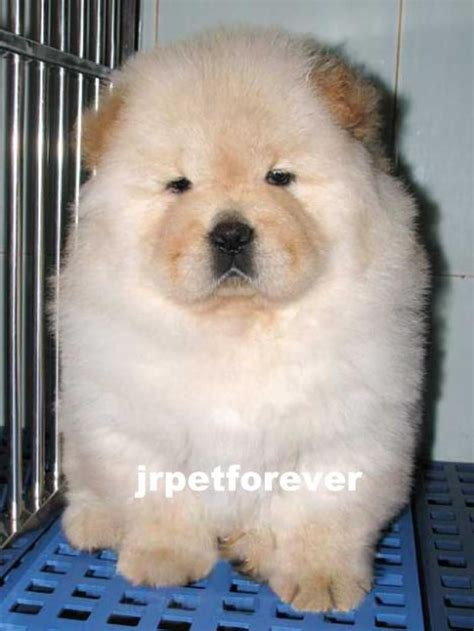 chow chow puppies price chow chow puppies for sale jacqueline 1 6134 dogs for sale price of puppies