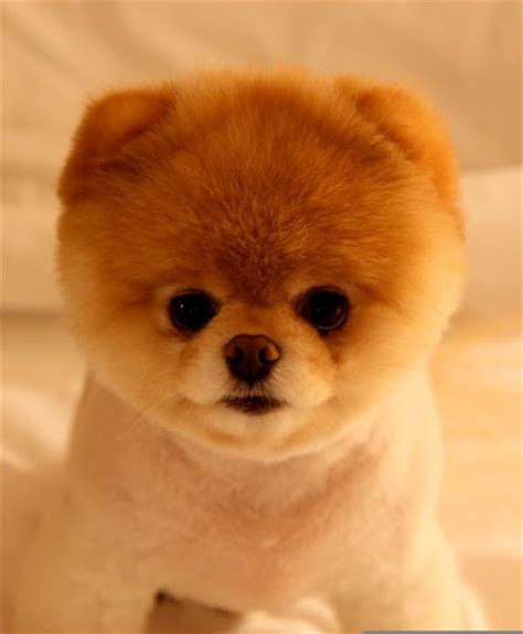 pomeranian grooming teddy cut my ultimate obsession pomeranian grooming cut styles