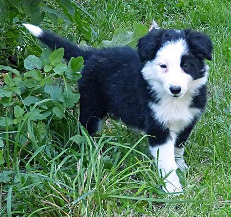 border collie puppies for sale ny 89 best ᏴᎾᎡᎠᎬᎡ ᏟᎾᏞᏞᏆᎬ images on puppies for sale