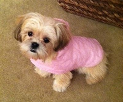 facts about shih tzu shih tzu breed information and pictures