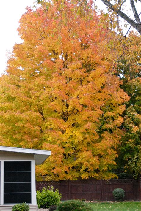 maple tree usda plants with fall interest keep the color coming diy
