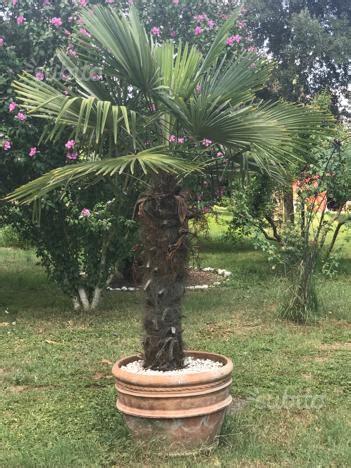 palme in vaso piante palme palma da giardino in vaso posot class