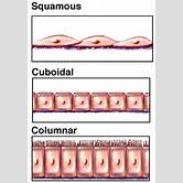 simple-cuboidal-epithelium