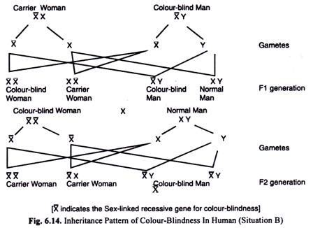 inheritance pattern of color blindness useful notes on sex linked inheritance in human with diagram
