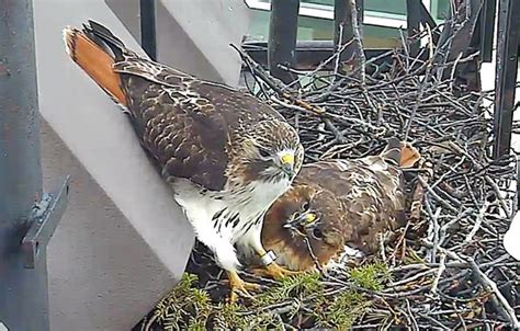 dna tests determine whether 2013 s injured hawks came from
