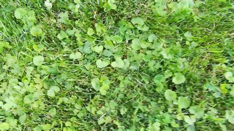 Unkraut Im Rasen Bestimmen 3413 by Unkraut Im Rasen Bestimmen Was Ist Das F 252 R Ein Unkraut
