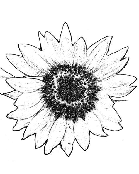 sunflower coloring pages preschool large sunflower coloring picture free printable