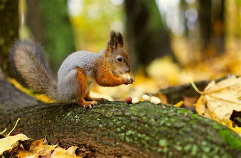 libro animal seasons squirrels autumn animal squirrel wallpaper
