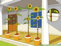 grow  sunflower   pot pictures sunflowers