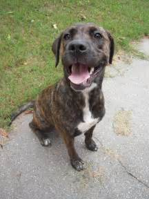 plott hound dogs happy plott hound dog photo and wallpaper beautiful happy
