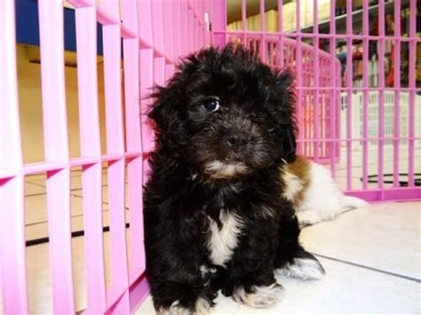 teddy bear puppies dogs  sale  memphis tennessee