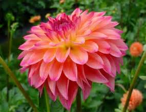 let s learn about flowers dahlia edition planning it all