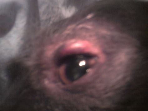 s swollen swelling above s eye allergic reaction ask a vet