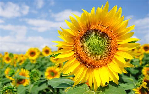 sunflower pakissan