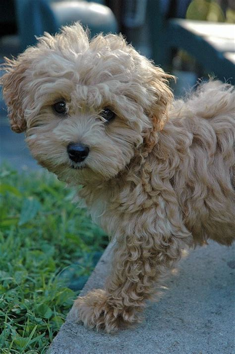 Maltipoo Shed by 80 Best Images About Dogs That Don T Shed On
