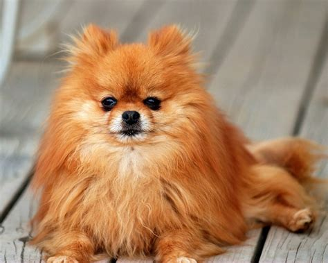 popular pomeranian 65 most popular pomeranian names