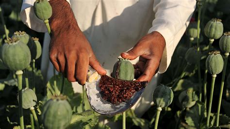 What Calendar Do They Use In Afghanistan Afghan Farmers Opium Is The Only Way To Make A Living
