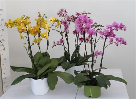 vaso per orchidea phalaenopsis orchidea phalaenopsis mini vaso 17 piante fiorite e