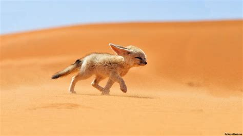 google images fox fennec fox google search o for a fox of my own