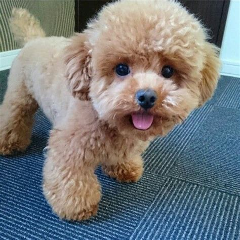 poodle puppy haircuts best 25 poodle cuts ideas on
