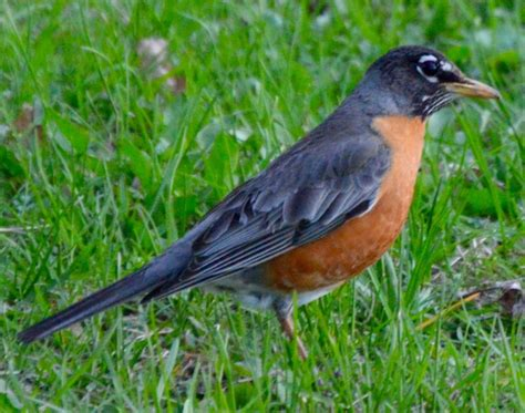 backyard bird watch photo gallery american robin by garry fisher 187 watching backyard birds com