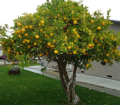 citrus fruit trees citrus tree fungus things about trees