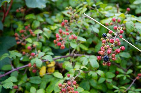Invasive Blackberry Plants ? What To Do For Weedy Blackberries