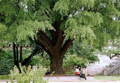 Green Vase Zelkova Problems by Japanese Zelkova