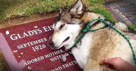 when do puppies lose their puppy breath grieving intensely cries his owner s grave urdogs