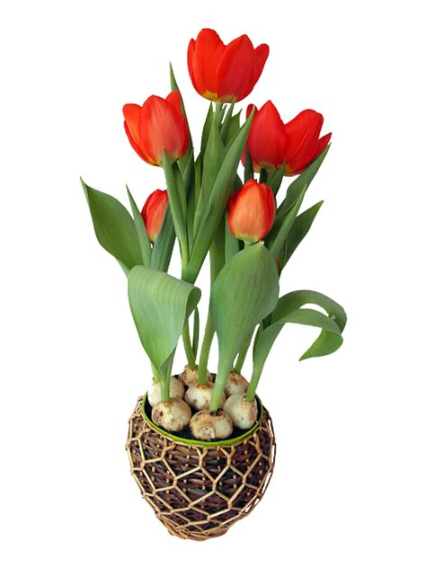 tulip red spring  image  pixabay