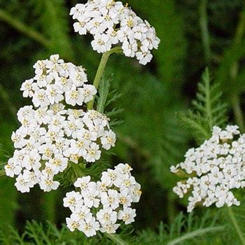 yarrow blue essential aroma 5ml yarrow blue