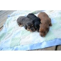 free dachshund puppies in tennessee miniature dachshunds for sale in kingsport tennessee breeds picture