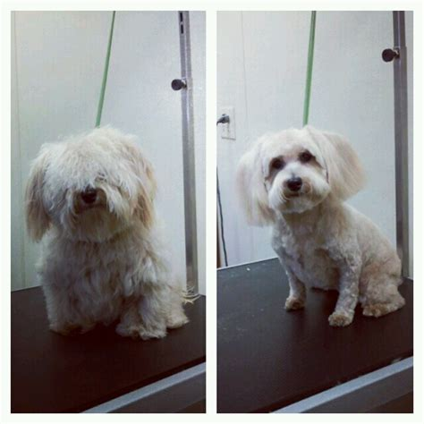 shaving shi poo quot shih poo quot before and after dog grooming pinterest
