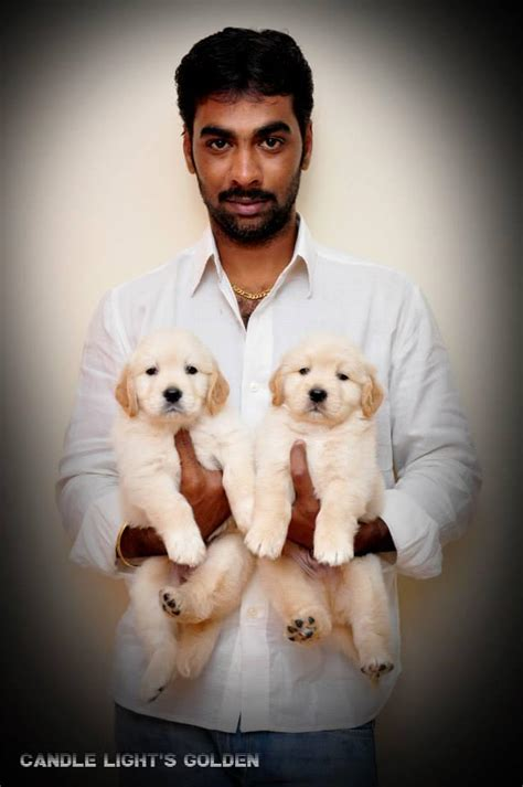 golden retriever puppies for sale in chennai golden retriever puppies for sale in chennai price dogs in our photo