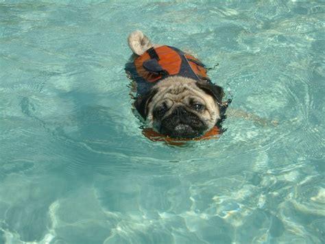 pug jacket swimming 8 best images about great exuma bahamas on trips exuma island and swim
