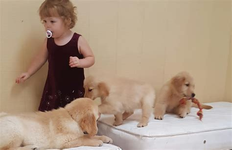 8 week golden retriever puppies for sale 8 week golden retriever puppy for sale dogs our friends photo