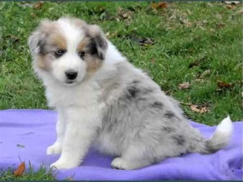 australian shepherd pomeranian mix set of useful picture ideas of pomeranian australian shepherd mix