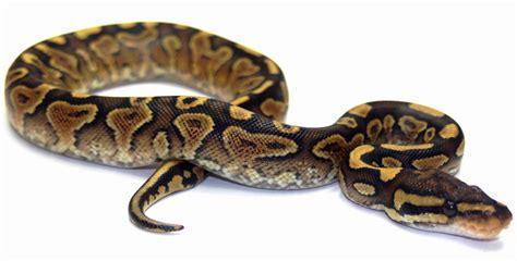 ball python heat l return to album