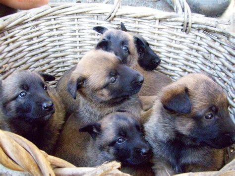 rottweiler puppies for sale vic rottweiler club of puppies for sale picture breeds picture