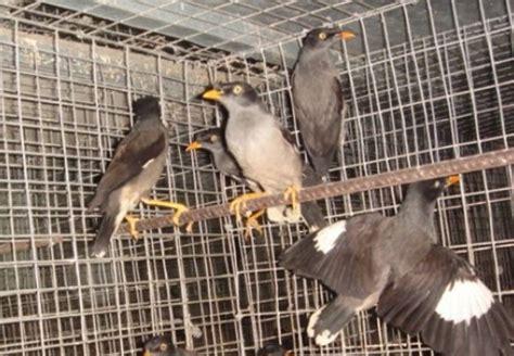 Panci Biasa Di Pasar beberapa jenis burung kerak yang biasa dijumpai di pasar