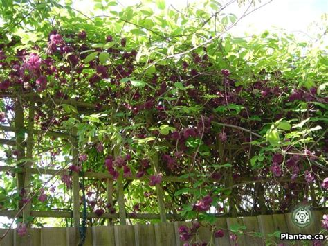 Click And Grow Garden by 17 Best Images About Akebia Quinata On Pinterest Soil