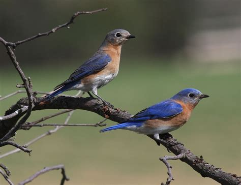 eastern bluebird wikipedia