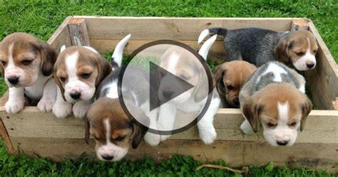 7 month puppy behavior 7 week puppies beagle fan club